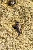 Άμμος Martin στην τρύπα φωλιών Στοκ Εικόνα
