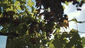 Άμπελος σταφυλιών με τα μούρα που κρεμούν στα στηρίγματα vinery απόθεμα βίντεο
