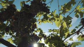Άμπελος σταφυλιών με τα μούρα που κρεμούν στις υποστηρίξεις vinery φιλμ μικρού μήκους