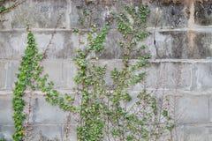 Άμπελος στο συμπαγή τοίχο τοίχων Στοκ εικόνα με δικαίωμα ελεύθερης χρήσης