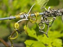 άμπελος φυτών στοκ φωτογραφία με δικαίωμα ελεύθερης χρήσης