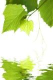 άμπελος Στοκ φωτογραφία με δικαίωμα ελεύθερης χρήσης