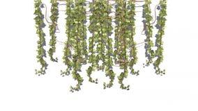 Άμπελος tendrils στον ελαφρύ αέρα ελεύθερη απεικόνιση δικαιώματος