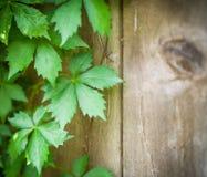 Άμπελοι αναρριχητικών φυτών της Βιρτζίνια στο ξεπερασμένο ξύλινο ξύλο σιταποθηκών φρακτών Στοκ φωτογραφία με δικαίωμα ελεύθερης χρήσης