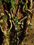 Άμπελοι κισσών σε ένα δέντρο Στοκ φωτογραφία με δικαίωμα ελεύθερης χρήσης