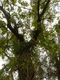 Άμπελοι σε ένα παλαιό δέντρο Στοκ φωτογραφίες με δικαίωμα ελεύθερης χρήσης