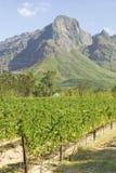 Άμπελοι σταφυλιών που αυξάνονται στην περιοχή κρασιού Stellenbosch, έξω από το Καίηπ Τάουν, τη Νότια Αφρική Στοκ Εικόνα