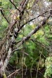 Άμπελοι στην άγρια πτώση δέντρων Στοκ Εικόνα