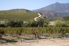 Άμπελοι Stellenbosch στο δυτικό ακρωτήριο Νότια Αφρική Στοκ Εικόνες
