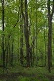 Άμπελος και δέντρα στο δάσος Στοκ φωτογραφία με δικαίωμα ελεύθερης χρήσης