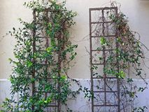 Άμπελος και φύλλα στο πλαίσιο τρίποδων Στοκ Εικόνες