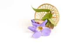 Άμπελος ρολογιών δαφνών, μπλε λουλούδια αμπέλων σαλπίγγων Στοκ Φωτογραφία