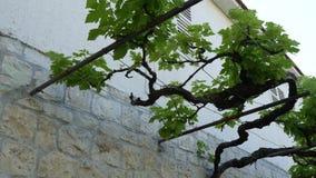 Άμπελος σταφυλιών κοντά στο σπίτι στο Μαυροβούνιο, τα Βαλκάνια Το αδριατικό S φιλμ μικρού μήκους