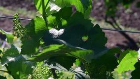 Άμπελος του Μπους πράσινος αμπελώνας Νέα άμπελος σταφυλιών closeup φιλμ μικρού μήκους