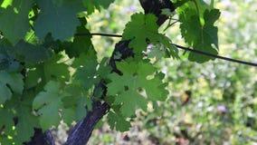 Άμπελος του Μπους closeup πράσινος αμπελώνας Νέο κρασί σταφυλιών απόθεμα βίντεο