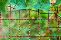 Άμπελος & x28 Coccinia grandis& x29  ανάπτυξη στο φράκτη καλωδίων Στοκ εικόνες με δικαίωμα ελεύθερης χρήσης