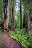 Άνεμοι ιχνών γύρω από τα δέντρα Redwood στοκ εικόνες