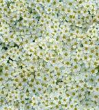 Άνευ ραφής άσπρο μικροσκοπικό υπόβαθρο λουλουδιών Στοκ Εικόνες