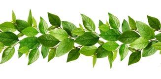 Άνευ ραφής σχέδιο γραμμών με τα φρέσκα πράσινα φύλλα Στοκ φωτογραφία με δικαίωμα ελεύθερης χρήσης