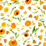 Άνευ ραφής σχέδιο με marigold λουλουδιών που απομονώνεται στο άσπρο backgro Στοκ εικόνες με δικαίωμα ελεύθερης χρήσης