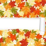 Άνευ ραφής σχέδιο σφενδάμνου φθινοπώρου με το σχισμένο λωρίδα Στοκ Εικόνες