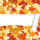 Άνευ ραφής σχέδιο σφενδάμνου φθινοπώρου με το σχισμένο λωρίδα Στοκ Φωτογραφία
