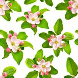Άνευ ραφής υπόβαθρο με τα λουλούδια της Apple που απομονώνεται στο λευκό Στοκ Φωτογραφίες