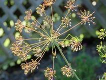 Άνηθος ή Anethum graveolens που αυξάνεται στον κήπο Στοκ Εικόνες