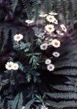 άνηθος εξεδρών argyranthemum στοκ φωτογραφία με δικαίωμα ελεύθερης χρήσης