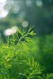 άνηθος πράσινος Στοκ Εικόνα