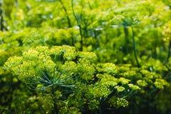 Άνηθος στον κήπο στο φως του ήλιου Στοκ Εικόνες