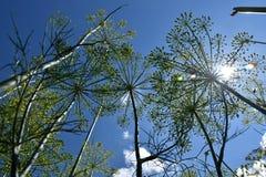 άνηθος Anethum graveolens, άποψη από κάτω από στον ουρανό Στοκ Φωτογραφίες