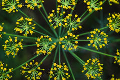 Άνηθος (Anethum graveolens) Μακροεντολή Τοπ όψη Στοκ εικόνες με δικαίωμα ελεύθερης χρήσης