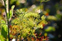 Άνηθος, anethum graveolens, που αυξάνεται στον κήπο Στοκ Εικόνα