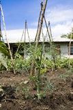 Άνηθος (Anethum graveolens) Στοκ εικόνες με δικαίωμα ελεύθερης χρήσης