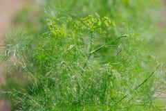 Άνηθος - Anethum graveolens Στοκ Φωτογραφίες
