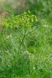 Άνηθος - Anethum graveolens Στοκ φωτογραφία με δικαίωμα ελεύθερης χρήσης
