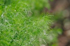 Άνηθος - Anethum graveolens Στοκ εικόνες με δικαίωμα ελεύθερης χρήσης