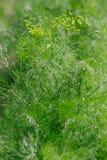 Άνηθος - Anethum graveolens Στοκ Εικόνες