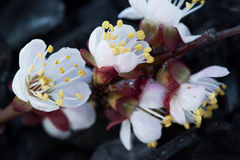 Άνθηση άνοιξη ενός Apple-δέντρου Άνθηση άνοιξη του κερασιού Στοκ Εικόνες