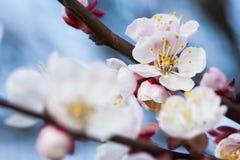 Άνθηση άνοιξη ενός Apple-δέντρου Άνθηση άνοιξη του κερασιού Στοκ Φωτογραφία