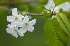 Άνθηση άνοιξη ενός Apple-δέντρου Στοκ Φωτογραφίες