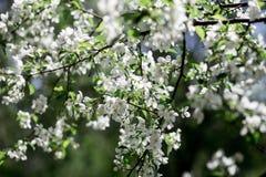 Άνθηση ενός Apple-δέντρου Στοκ Εικόνα