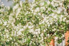 Άνθηση ενός Apple-δέντρου Τα apple-δέντρα έχουν ανθίσει Λουλούδια σε ένα δέντρο Στοκ φωτογραφία με δικαίωμα ελεύθερης χρήσης