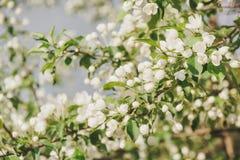 Άνθηση ενός Apple-δέντρου Τα apple-δέντρα έχουν ανθίσει Λουλούδια σε ένα δέντρο Στοκ Εικόνες