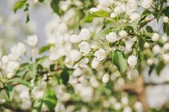 Άνθηση ενός Apple-δέντρου Τα apple-δέντρα έχουν ανθίσει Λουλούδια σε ένα δέντρο Στοκ Εικόνα