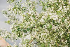 Άνθηση ενός Apple-δέντρου Τα apple-δέντρα έχουν ανθίσει Λουλούδια σε ένα δέντρο Στοκ Φωτογραφία