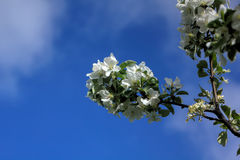 άνθηση μήλων στενό λευκό τουλιπών κόκκινων ανοίξεων κήπων λουλουδιών κερασιών επάνω Στοκ φωτογραφίες με δικαίωμα ελεύθερης χρήσης