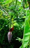 Άνθηση μπανανών Στοκ φωτογραφίες με δικαίωμα ελεύθερης χρήσης