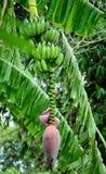 Άνθηση μπανανών Στοκ Εικόνες